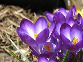 purple spring crocus by sataikasia