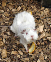 Windswept Guinea Pig by ChrissieCool