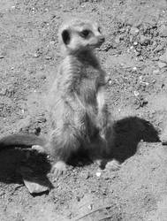 Meerkat Baby by ChrissieCool