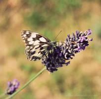 lavender by Sylwe