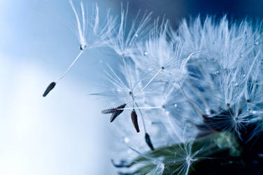 blue dandelion by RothermRebeka