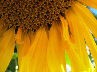 Under the Sunflower by AzureKitten