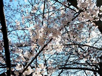 Sakura 01 by AzureKitten