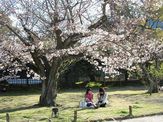 Sakura 03 by AzureKitten