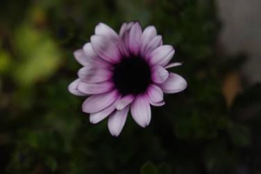 Violet Flower by Saaraa96