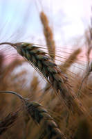 Deep Wheat by NightKn8