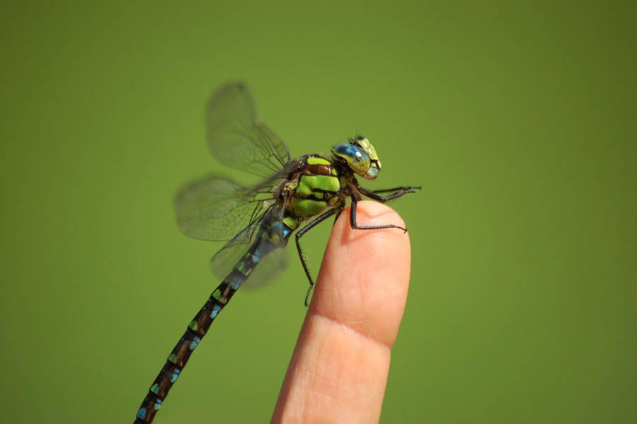 Bobelina Dragonfly by NightKn8