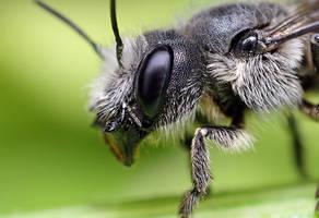 Bee by Goshinsky