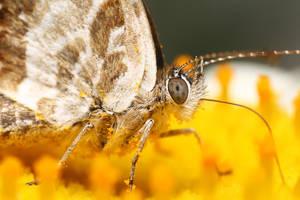 Butterfly by Goshinsky