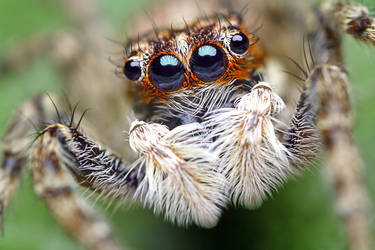 Jumping spider II by Goshinsky