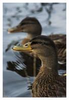 Grinning Ducks by CaptainNuss