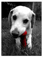 Dartmoor the Dog 01 by nibbler-photo