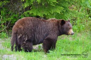 Brown Bear by sweetcivic