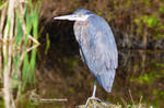 Great Blue Heron by sweetcivic