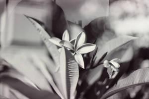 Plumeria by MiaSK
