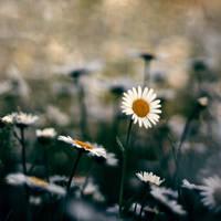 Flower field by AnimeAB