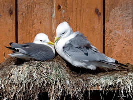 Seagulls in Love by nordfold