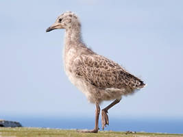 Seagull baby 01 by nordfold