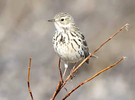 Meadow Pipit by nordfold