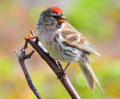 Arctic Redpoll 15 by nordfold