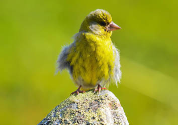 European Greenfinch 04 by nordfold