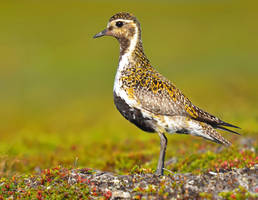 Eurasian Golden Plover 04 by nordfold