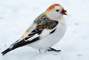 Snow Bunting IV by nordfold
