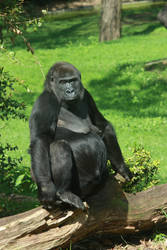 Gorilla perching by bookscorpion