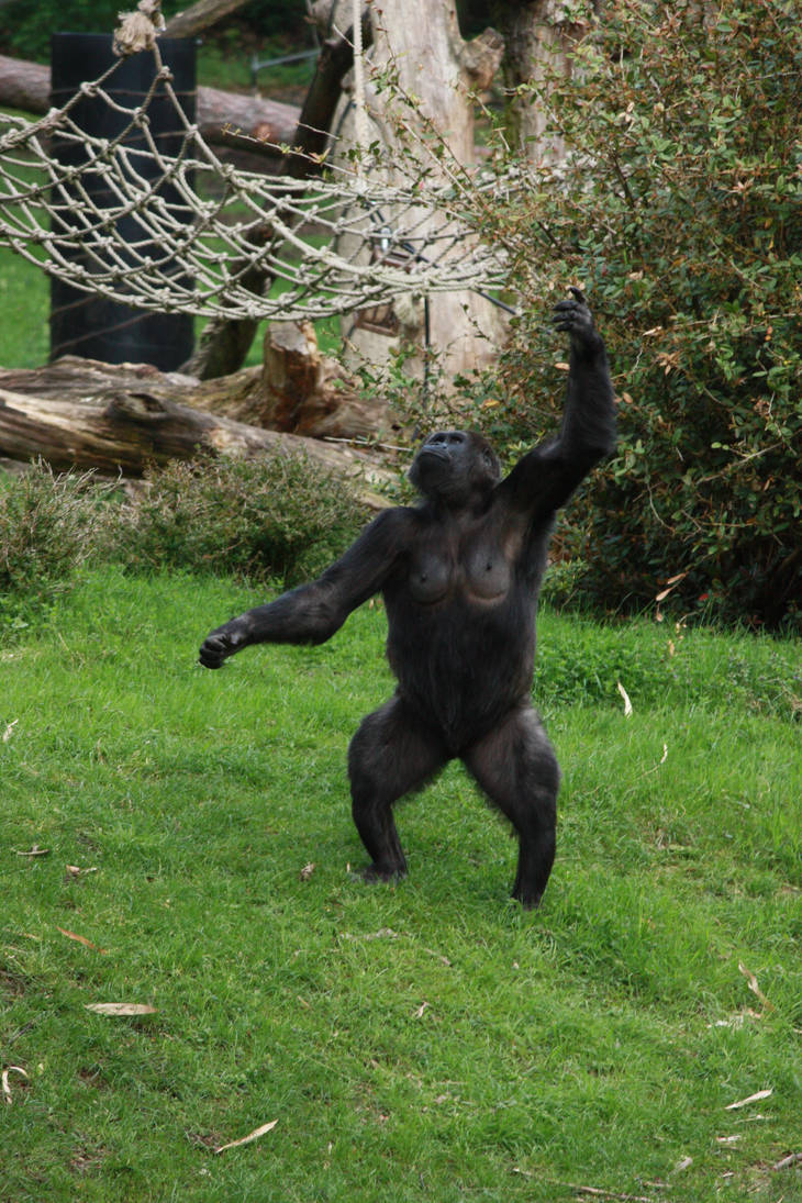 Gorilla throwing 2 by bookscorpion