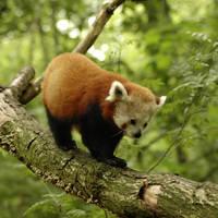 Red Panda by dajono
