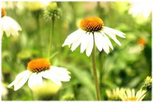 Daisy Daisy by mygreymatter