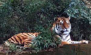 Tiger by osam-devet