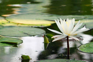 Water Lilly by DigitalissSTOCK