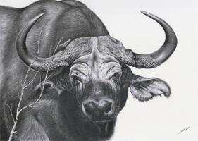 African Buffalo by daniluc78