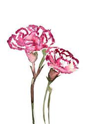 Carnation Watercolour by daniellekenyon