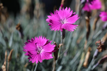 Dianthus by MEP4Photography