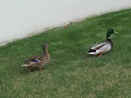 Ducks by Rejuv1n8edChr0nic9l