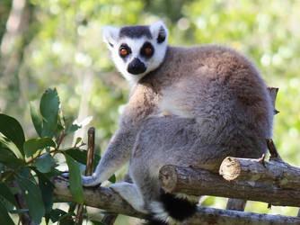 Lemur by Rachabelle