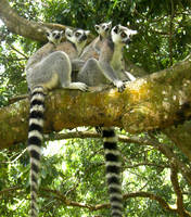 Lemur Family by MalakaGTS