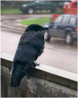 6 - Rainy Day Crow by Nimiszu
