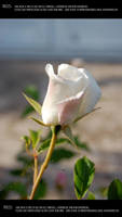 Roses 6 by Mithgariel-stock
