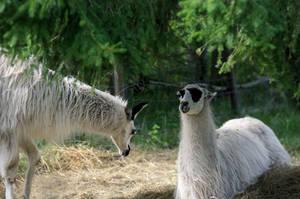 Give me a llama ... by KariLiimatainen