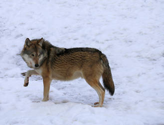 Great wolf by KariLiimatainen