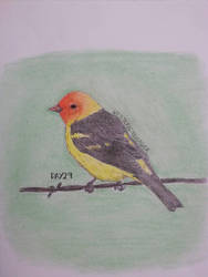 Western Tanager by drtupps
