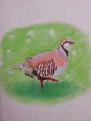 Red-legged Partridge by drtupps