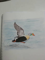 King Eider by drtupps