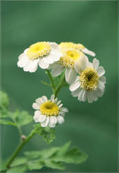 Precious Daisy by GrotesqueDarling13