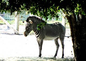 Zebra by AsBsCs