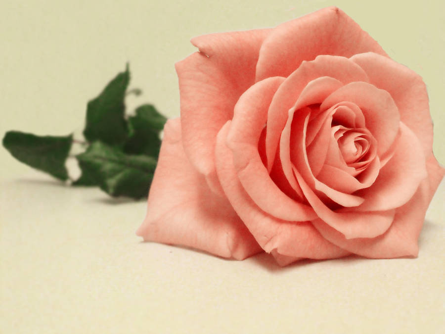Pink Rose Blush by psychopharmacologist