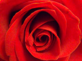 Red Rose by psychopharmacologist